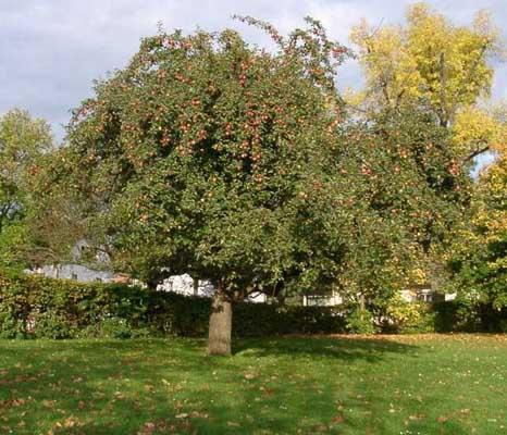 baumgedichte apfelbaum ludwig uhland einkehr. Black Bedroom Furniture Sets. Home Design Ideas