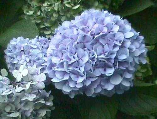 rainer maria rilke gedicht blaue hortensie. Black Bedroom Furniture Sets. Home Design Ideas