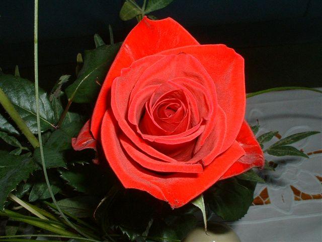 Ich Gebe Die Rose An... Rote%20Rose%20v.A.%20053